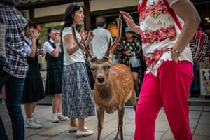 A wild sika deer in Nara, Japan. The town's free-roaming deer have become a major tourist attraction, but an autopsy on a deer found dead recently found 3.2kg of plastic in its stomach