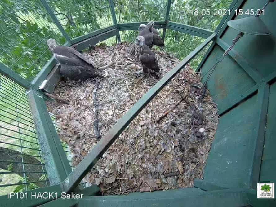 young falcons in the 'hack'