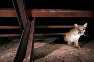 A young mountain lion crossing the border at San Bernardino.