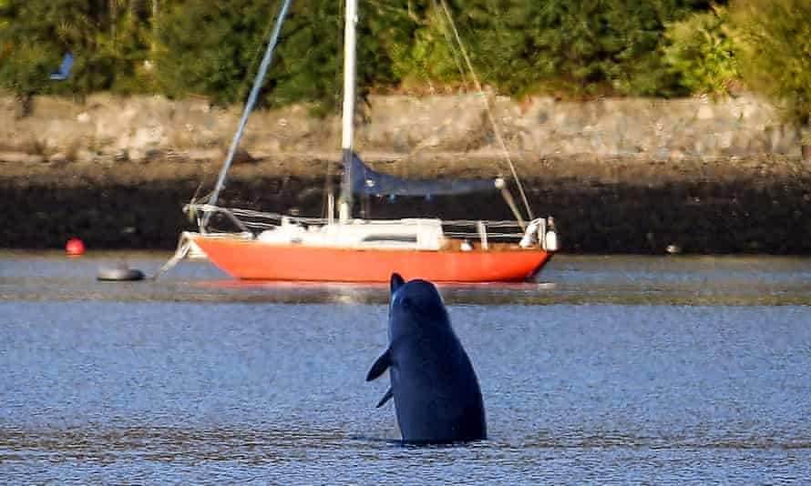 A Northern Bottlenose whale breaches after boats attempted to herd them from the Gare Loch into the open sea ahead of a military exercise starting in the region on 1 October 2020 in Garelochhead, Argyll and Bute, Scotland.