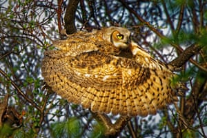 Great horned owl. High River, Alberta, Canada: gold prize in behaviour - birds