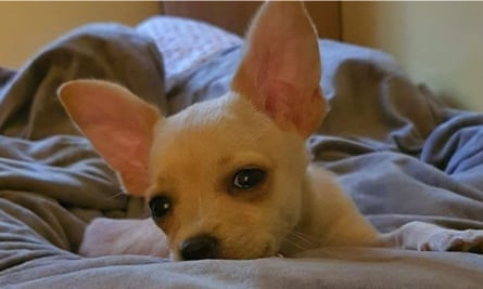 Raya, the chihuahua puppy, is now to be put up for adoption in Bulgaria.