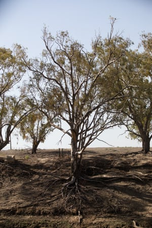 A tree with bare roots on a section of the Barwon River.
