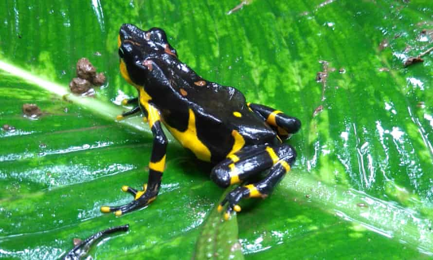 The critically endangered variable harlequin toad (Atelopus varius).