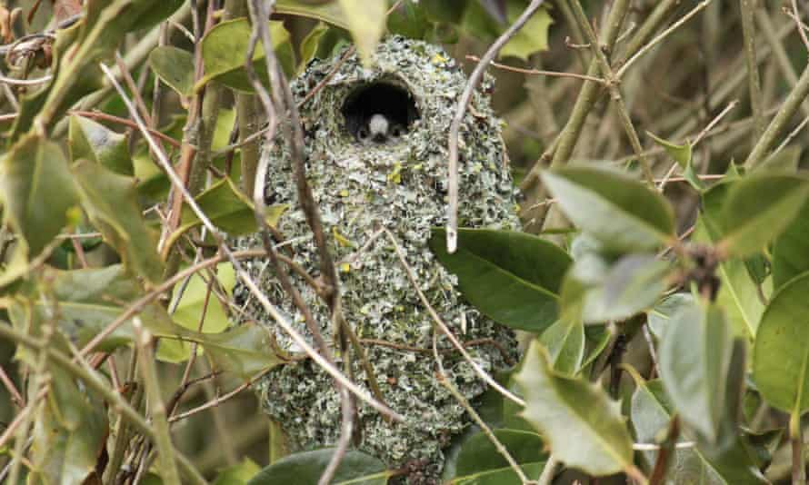 A long-tailed tit peeking out from its nest