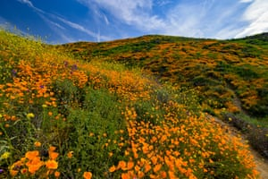 California poppies and other wild flowers grow on the hills near Lake Elsinore