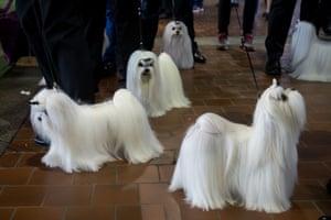 Maltese dogs prepare to take the field