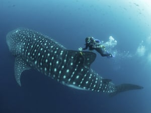 Jonathan Green checks on a fin-mounted satellite tag on a whale shark in the Galapagos Islands