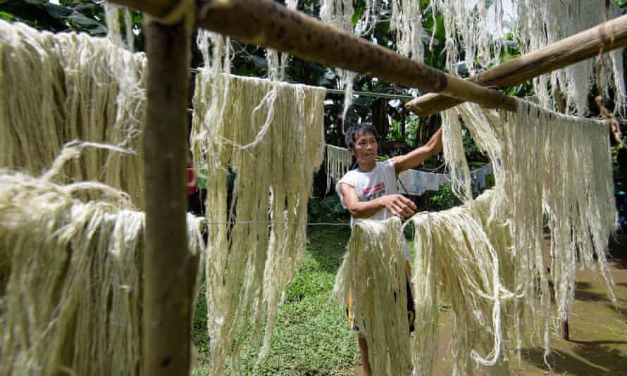 Drying of pineapple fibres in the Philippines to make Pinatex.