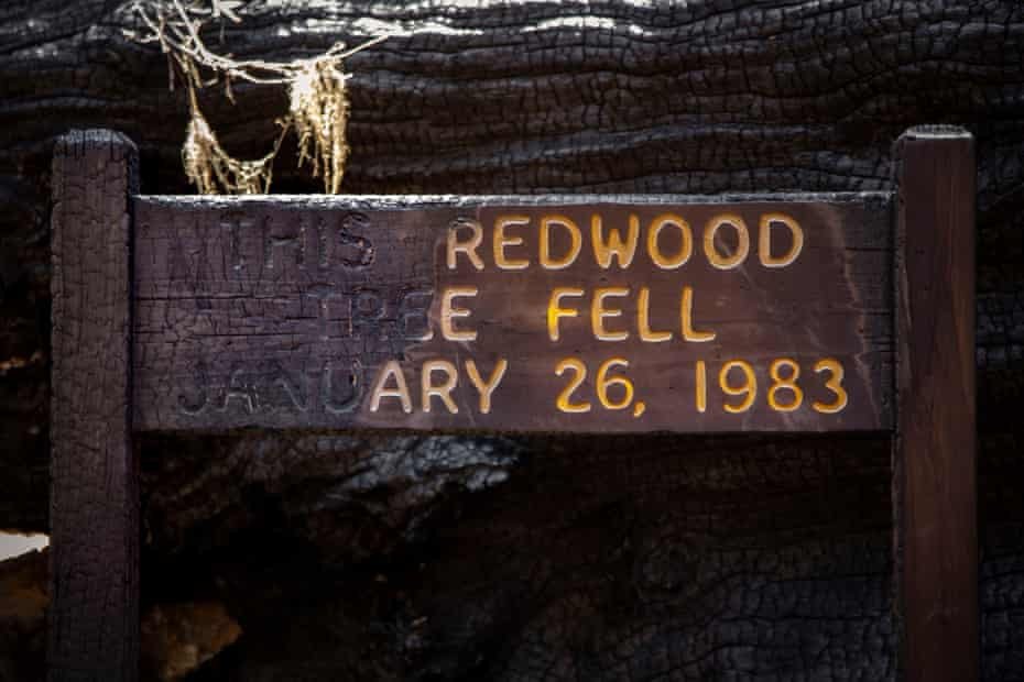 A large redwood tree, which fell decades ago, was a favorite stop in the old-growth grove in Big Basin. Flames swept over the base of the giant tree and half of the sign introducing it.