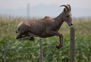A mountain goat jumps over a fence on a farm in Walhachin, Canada.