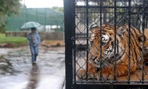 A Tiger at Shanghai Zoo, Shanghai, China.
