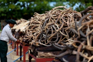Confiscated ivory and wildlife parts are piled ready to be burnt in Naypyidaw, Myanmar