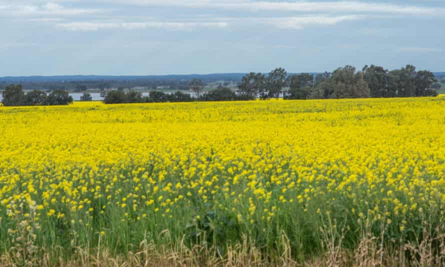 Canola crops blooming near Corop, Victoria.