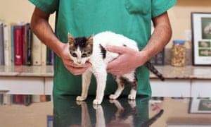 Vet examining a kitten