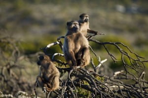 Baboons monkey around at Cape Point, Cape Town, South Africa