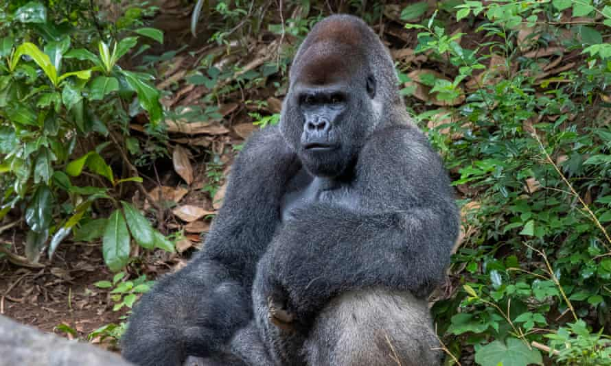 A male western lowland gorilla inside its enclosure at Zoo Atlanta last year.