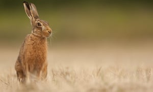 Adult European hare (Lepus europaeus) sitting in mown hay meadow, Norfolk, England.