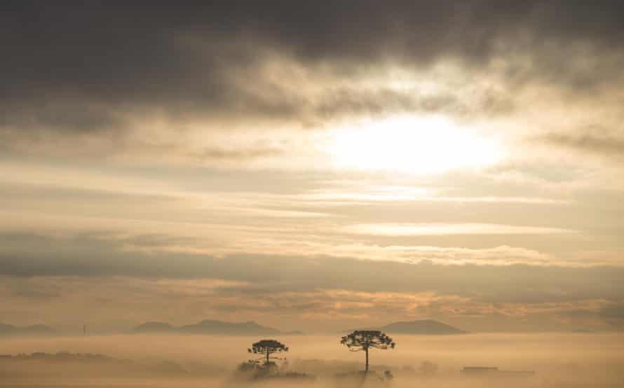 Parana Pine trees, Parana state, Brazil.