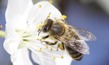 Stressed young bees that are forced to grow up too fast could largely account for disastrous declines in populations of the insects around the world, research suggests.