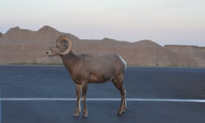 Bighorn sheep often stop the traffic on the roads around the Badlands.