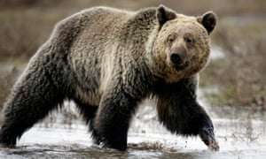 Yellowstone Grizzlies Can Be Hunted After Endangered Protections - 32 bears decided try human