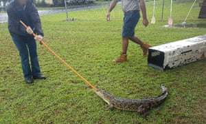 Wildlife officers were called to Bramston Beach, Queensland, where a 1.5m saltwater crocodile was spotted by residents.