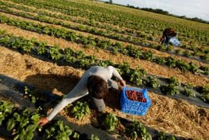Foreign workers picking strawberries near Kings Lynn, Norfolk.