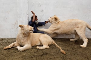 Peshawar, PakistanMamy, a caretaker plays with a pair of pet lions in an enclosure built in a house