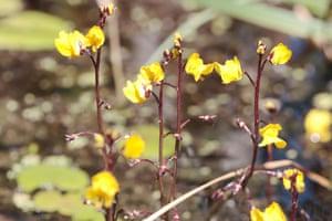 Greater Bladderwort (Utricularia vulgaris)
