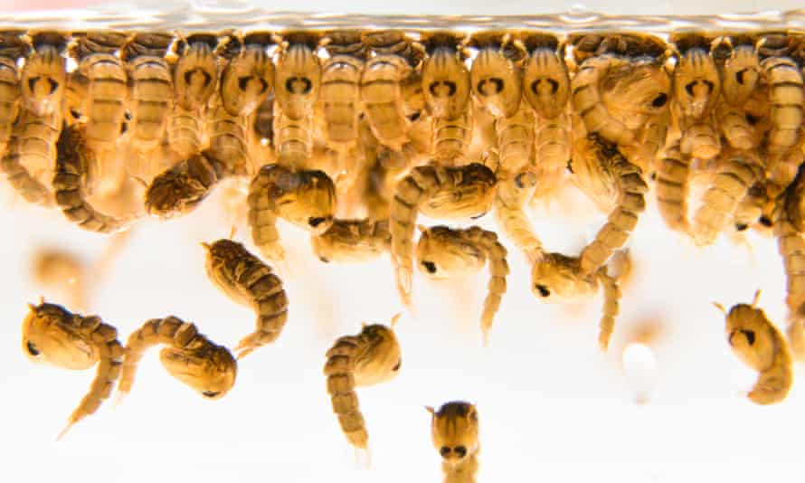 Oxitec mosquito larvae are shown. Each male mosquito released by Oxitec will carry a gene to prevent his offspring from reaching adulthood.