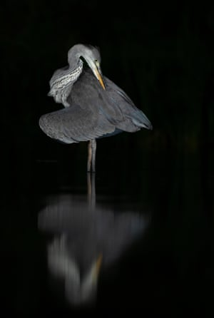 A grey heron on a lake at night in Lincolnshire, UK