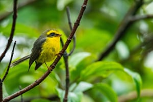 Cute and beautiful yellow-bellied fairy-fantail perching on a branch, Thailand