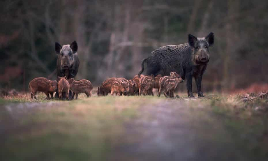 Piggies in the middle: a family group of wild boars in the Forest of Dean.