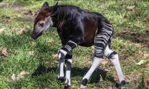 A four-week-old male okapi calf