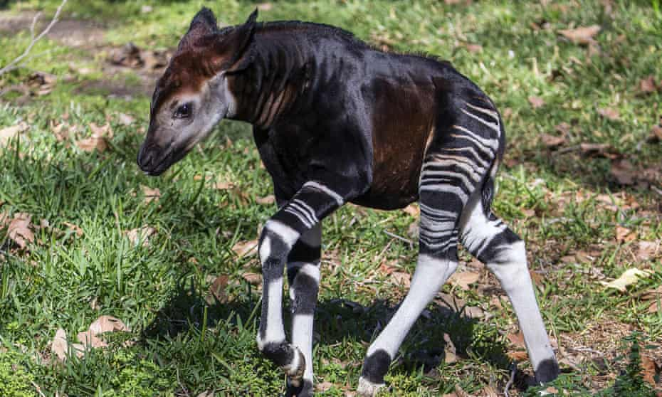 A four-week-old male okapi calf