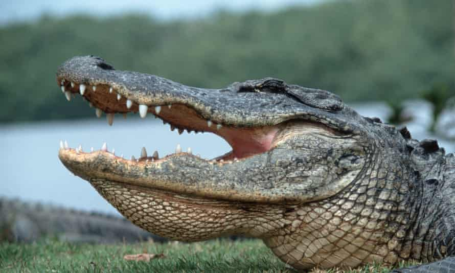 An alligator ate a burglary suspect who entered a lake in Florida, police say.
