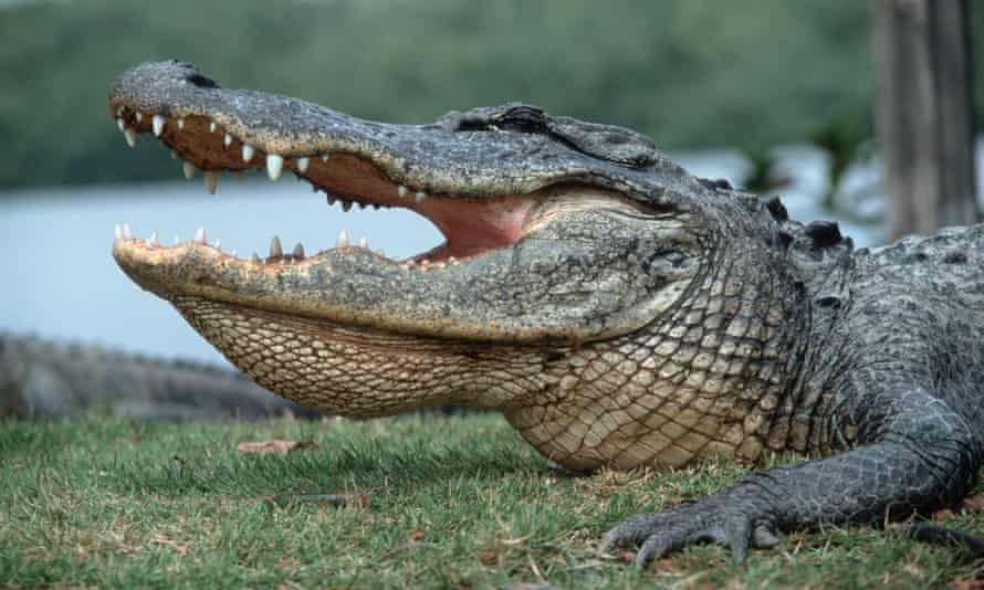 The alligator believed to have been responsible was located later, the sheriff's office said, without specifying what happened after it was found.
