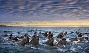 massed walruses coming into shore in svalbard