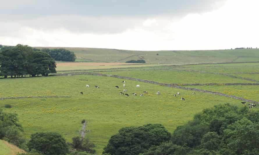 Cattle grazing among fields smothered in ragwort, near Hay Dale, Derbyshire.