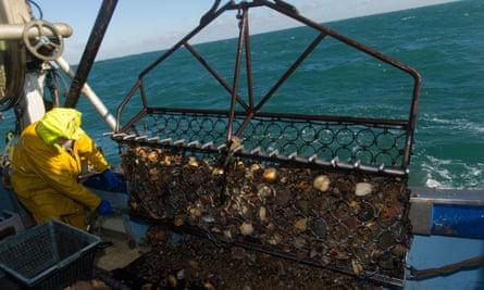 A fisherman opens a scallop dredge