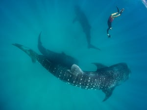 Whale sharks are the largest fish in the world, growing up to 20m long and weighing around 40 tonnes.