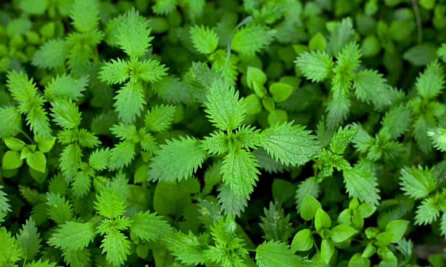 Green Fresh Stinging Nettle Leaves