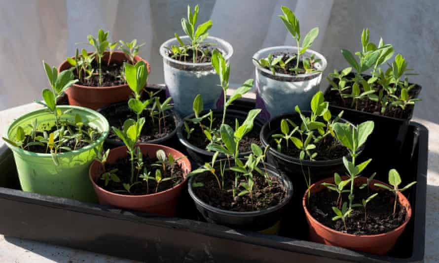 Sweetpea seedlings grow in plantpots