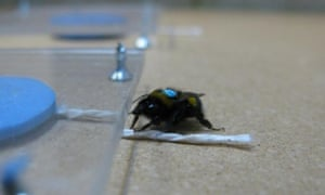 A string-pulling bee. Whatever next?