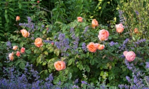 Rosa 'Lady Emma Hamilton' with Nepeta 'Six Hills Giant'.