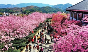 Longyan, China. Cherry blossoms bloom in south China's Fujian province