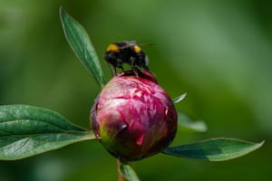 Royston, England A bee feeds on sap from a peony at the family-run Bury Lane farm in Hertfordshire. Demand for the flower has grown by almost 100 percent in the last three years according to figures from Tesco