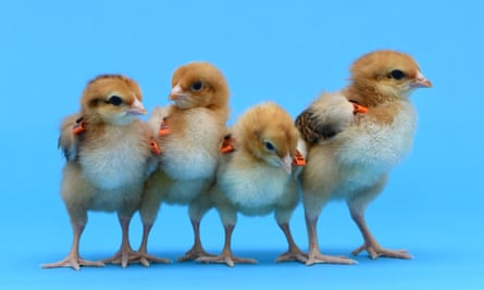 Some of the genetically modified chickens bred by scientists at the Roslin Institute.