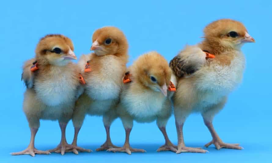 Gene-edited chicks at the Roslin Institute.